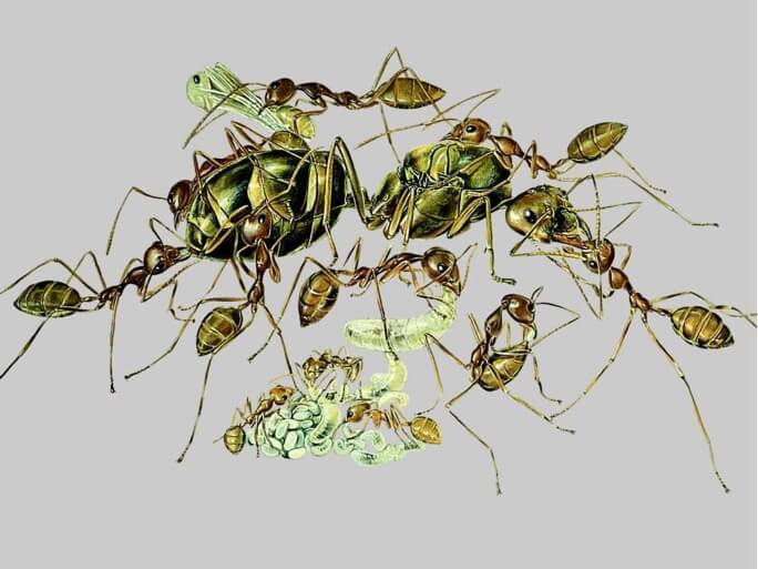 A weaver ant queen surrounded by worker ants. Illustration by Turid Holldobler-Forsyth