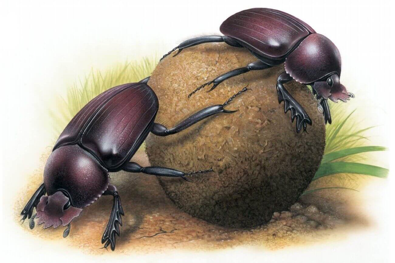 Homage to the dung beetle