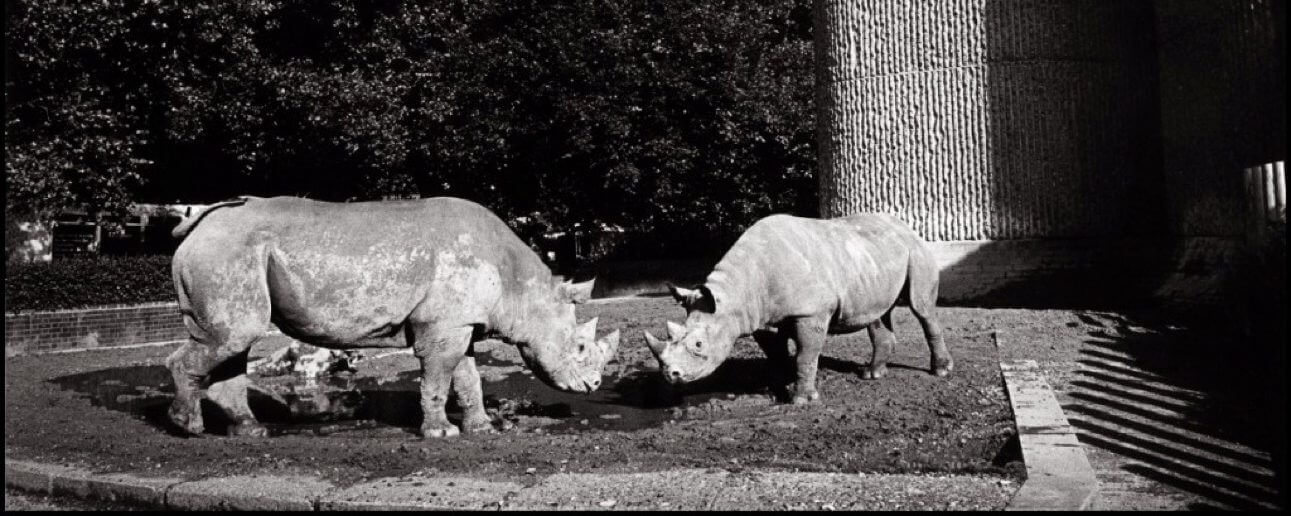Labour's white rhino at London Zoo
